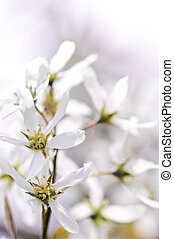 Gentle white spring flowers of the serviceberry shrub