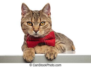 gentleman british fold cat lying with paws hanging