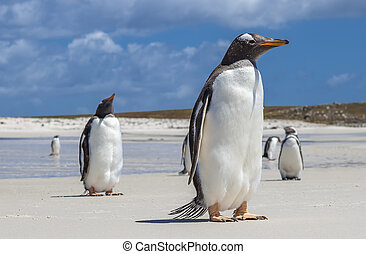 Gento Penguins close-up at Falkland Islands