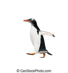 gentoo, aus, weißer hintergrund, pinguin