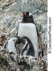 Gentoo Mother and Chicks on Rocky Outcropping - Gentoo ...