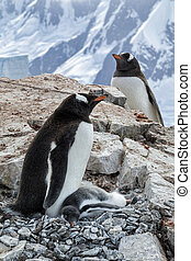 Gentoo Parents and Chick on Rocky Outcropping - Gentoo ...