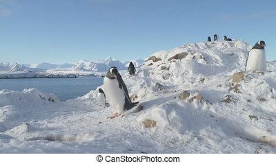 Gentoo penguin antarctic wildlife closeup portrait