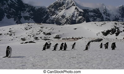 Gentoo Penguin colony - Gentoo penguin colony Cuvervle...