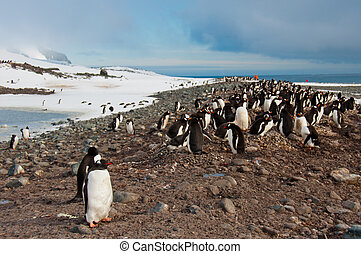 Gentoo Penguin Colony - Thousand of penguins raising their...