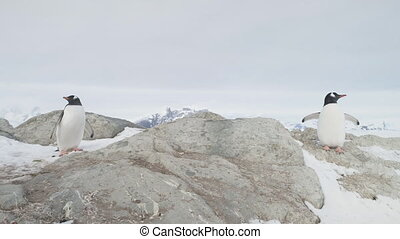 Gentoo penguin couple stand snow rock closeup view