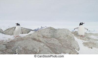 Gentoo penguin couple stand snow rock closeup view