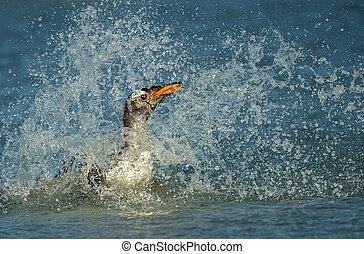 Gentoo penguin diving in the Atlantic ocean