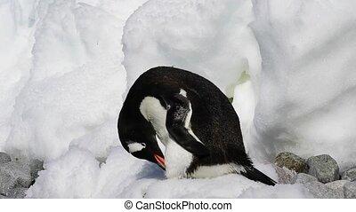 Gentoo Penguin on the ice travel to Antarctica