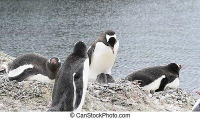 Gentoo Penguin on the nest in Antarctica