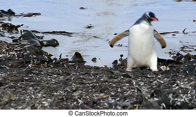 Gentoo Penguin on the see grass - Gentoo Penguin on the sea...