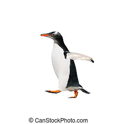 gentoo penguin over white background - gentoo penguin