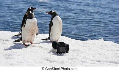 Gentoo Penguin  with camera