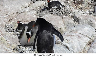 Gentoo Penguin with chick feeding time in Antarctica