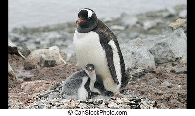 Gentoo Penguin with chicks in the nest - Gentoo Penguins...