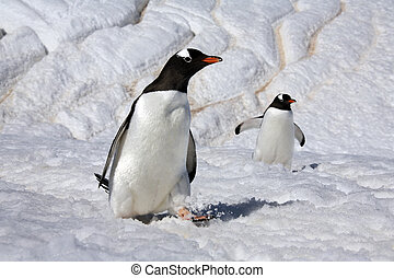 Gentoo Penguins on Danko Island in Antarctica