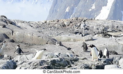Gentoo Penguins on the bech - Gentoo Penguins on the beach...