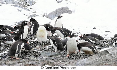 Gentoo Penguins on the nest Antarctica