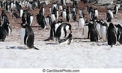 Gentoo Penguins on the nest in Antarctica