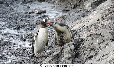 Gentoo Penguins on the nest with chiks Antarctica