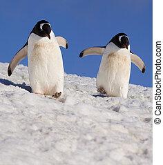 Gentoo penguins (Pygoscelis papua) - Danko Island - Antarctica