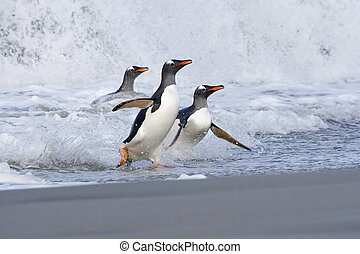 Gentoo penguins (Pygoscelis papua) walking onto the beach...