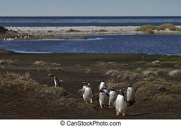 Gentoo Penguins returning to the colony