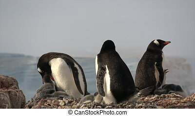 Gentoo Penguins with chick on the nest Drown Bluff...