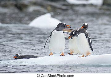 gentoo, pingüinos, en, el, hielo