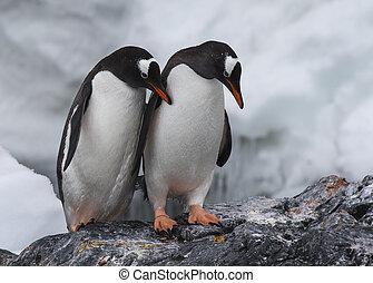 gentoo, pingüinos, en, el, roca