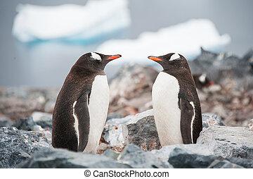 gentoo, pingüinos, mirar en el espejo, en, el, antártida, playa, ne