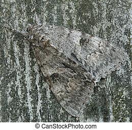 (genus, moth, op, catocala), afsluiten, underwing
