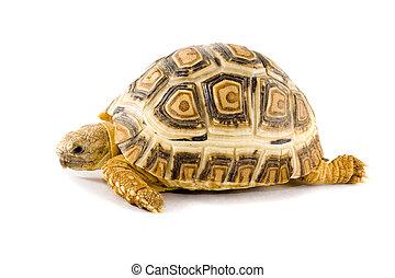 Geochelone Pardalis - a young tortoise - Geochelone Pardalis...