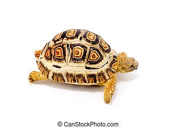 Geochelone Pardalis - a young tortoise (Geochelone Pardalis)...