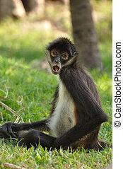 Geoffroy's Spider Monkey (Ateles geoffroyi) Eating