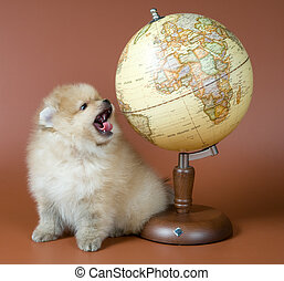 Geography lesson - Puppy of a spitz-dog with the globe in...