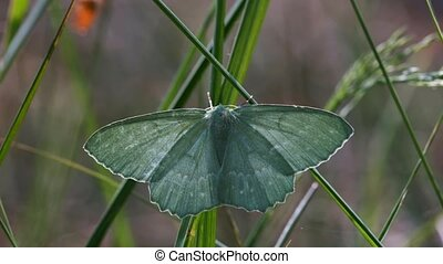 Geometer moth - detailed shot - Geometer moth - Geometra...