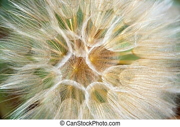 Seeds of an ordinary dandelion create perfect Geometrical forms