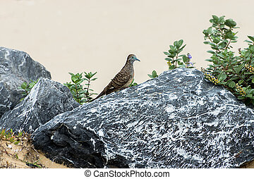 Geopelia striata bird on the rock.