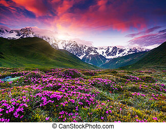 georgia - Fantastic colorful sunset and bloom rhododendron...