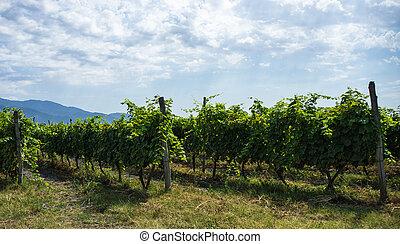 georgiano, vino, área, kakheti
