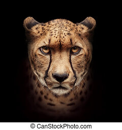 gepard, čelit, osamocený, dále, temný grafické pozadí