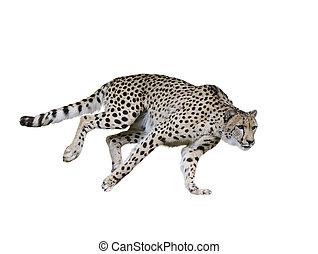gepard, (acinonyx, jubatus), rennender