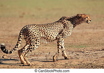 gepard, alarm