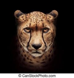 gepard, ansikte, isolerat, på, svart fond