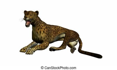 gepard, cyganiąc na dół