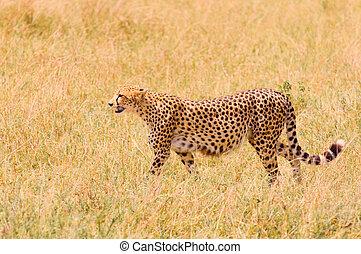 gepard, feld