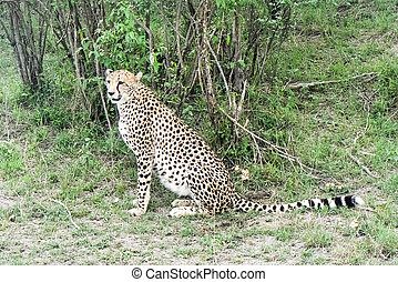 Gepard in der Savanne Safari in Kenia