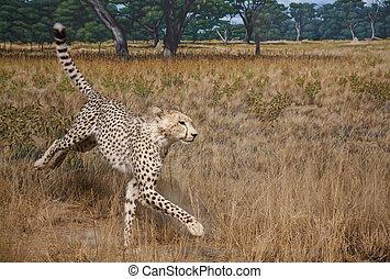 gepard, in, wiesen