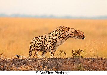 gepard, masai, mann, mara